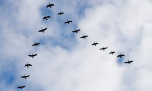 geese-in-v-formation-008